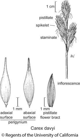 botanical illustration including Carex davyi