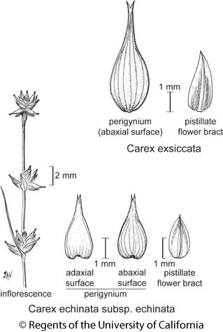 botanical illustration including Carex echinata subsp. echinata