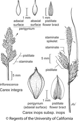 botanical illustration including Carex integra