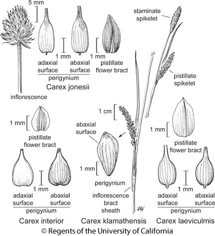 botanical illustration including Carex laeviculmis