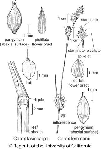 botanical illustration including Carex lasiocarpa