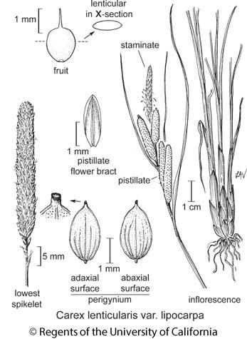 botanical illustration including Carex lenticularis var. lipocarpa