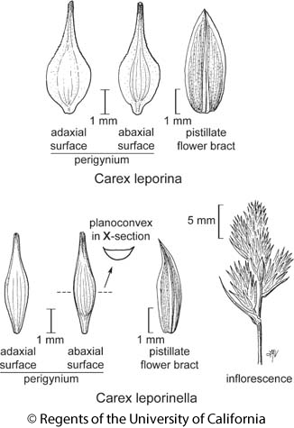 botanical illustration including Carex leporinella