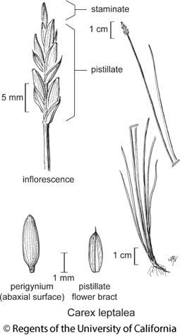 botanical illustration including Carex leptalea