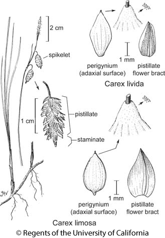 botanical illustration including Carex limosa