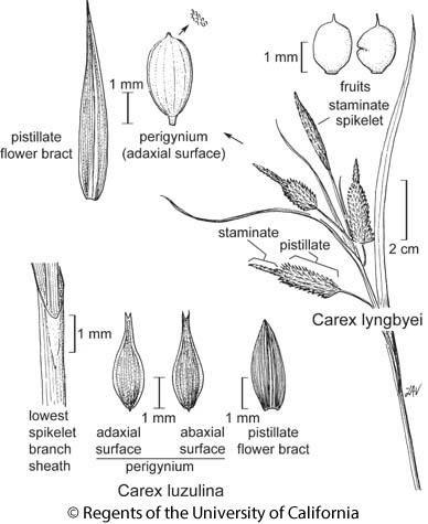 botanical illustration including Carex luzulina
