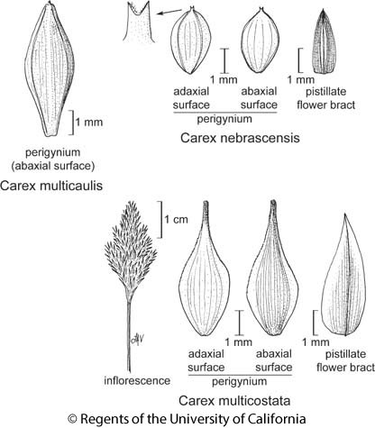 botanical illustration including Carex nebrascensis