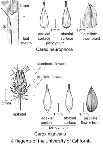 botanical illustration including Carex neurophora