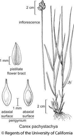 botanical illustration including Carex pachystachya