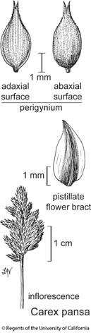 botanical illustration including Carex pansa