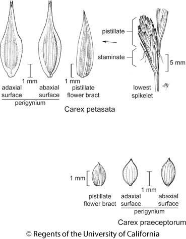 botanical illustration including Carex petasata