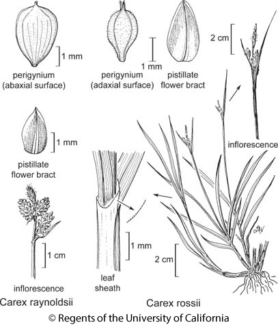 botanical illustration including Carex raynoldsii