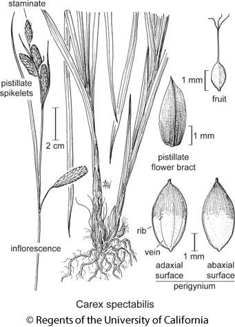 botanical illustration including Carex spectabilis