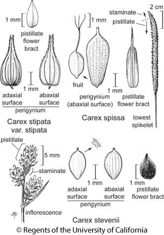 botanical illustration including Carex stipata var. stipata