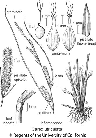 botanical illustration including Carex utriculata