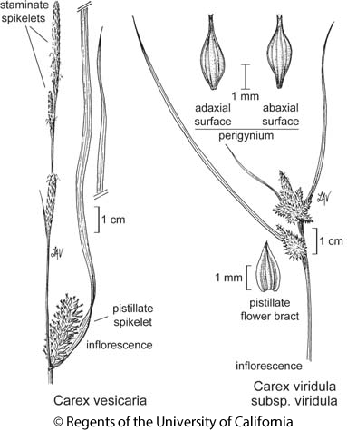 botanical illustration including Carex viridula subsp. viridula
