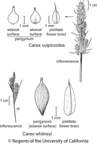 botanical illustration including Carex vulpinoidea