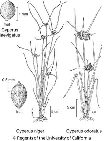 botanical illustration including Cyperus niger