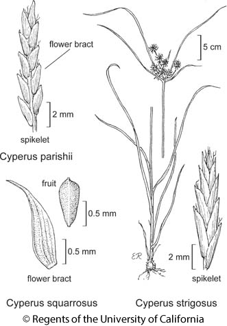 botanical illustration including Cyperus strigosus