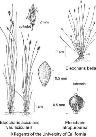 botanical illustration including Eleocharis atropurpurea