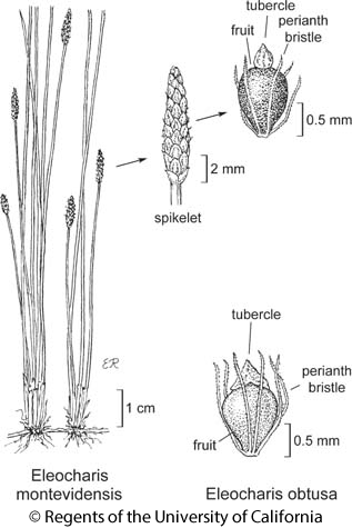 botanical illustration including Eleocharis montevidensis