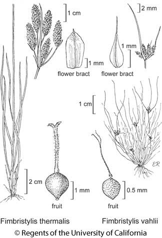 botanical illustration including Fimbristylis vahlii