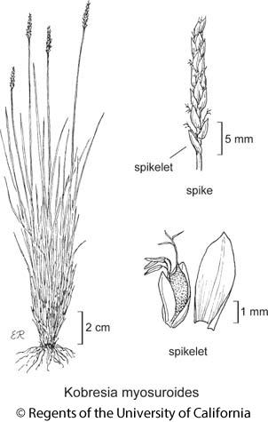 botanical illustration including Kobresia myosuroides