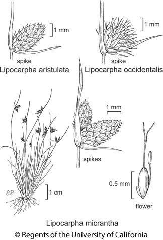 botanical illustration including Lipocarpha micrantha