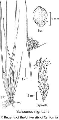 botanical illustration including Schoenus nigricans