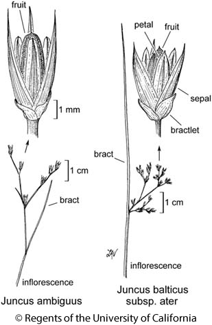 botanical illustration including Juncus balticus subsp. ater