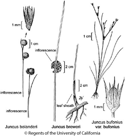 botanical illustration including Juncus bufonius var. bufonius