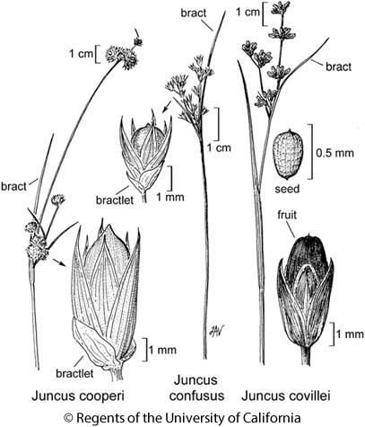 botanical illustration including Juncus covillei