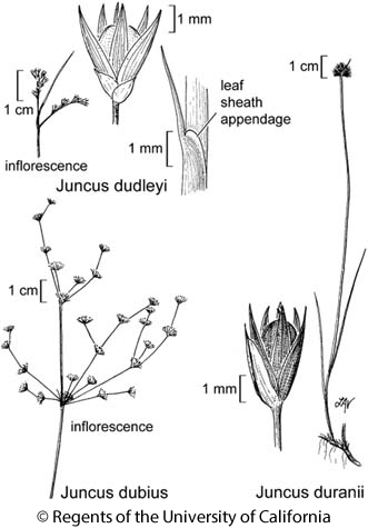 botanical illustration including Juncus duranii