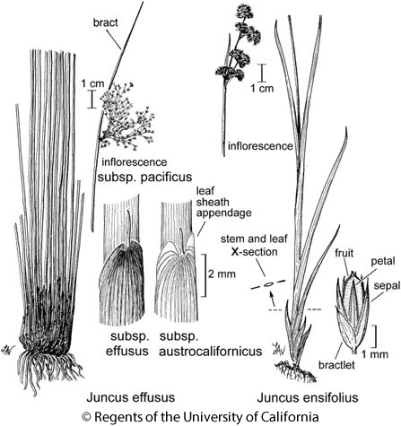 botanical illustration including Juncus effusus subsp. austrocalifornicus