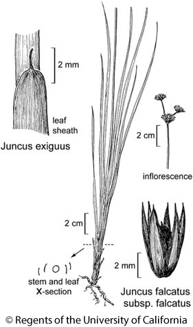 botanical illustration including Juncus falcatus subsp. falcatus