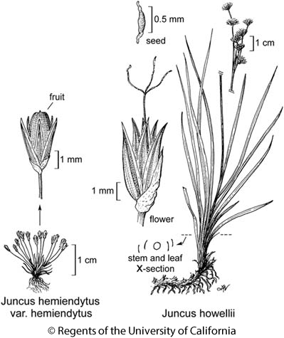 botanical illustration including Juncus howellii
