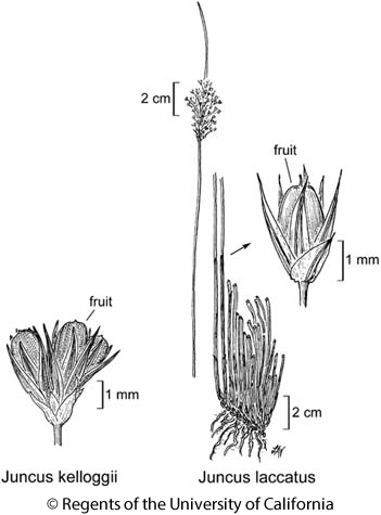 botanical illustration including Juncus kelloggii