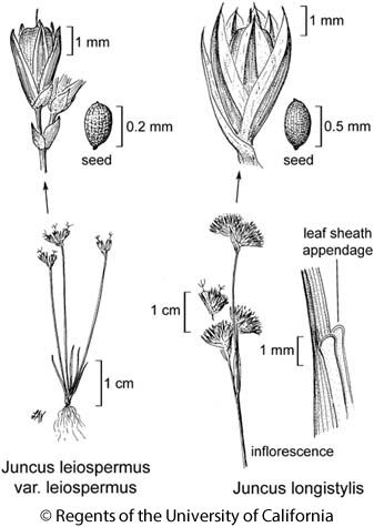 botanical illustration including Juncus leiospermus var. leiospermus