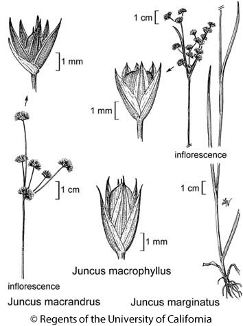botanical illustration including Juncus macrophyllus