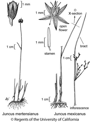 botanical illustration including Juncus mertensianus