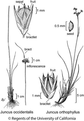 botanical illustration including Juncus occidentalis