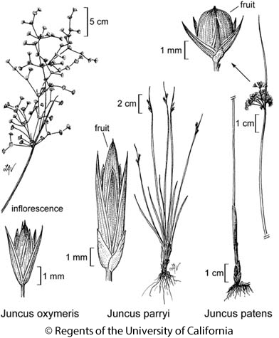 botanical illustration including Juncus parryi