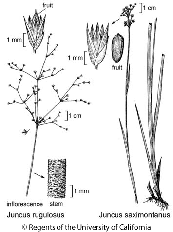 botanical illustration including Juncus saximontanus