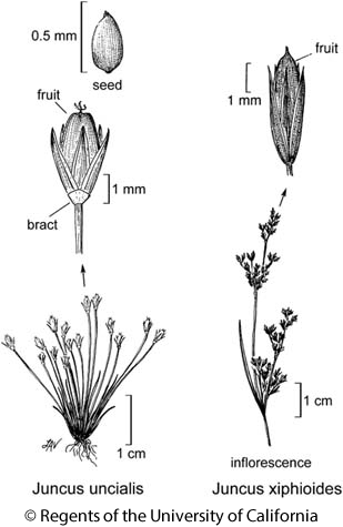 botanical illustration including Juncus xiphioides