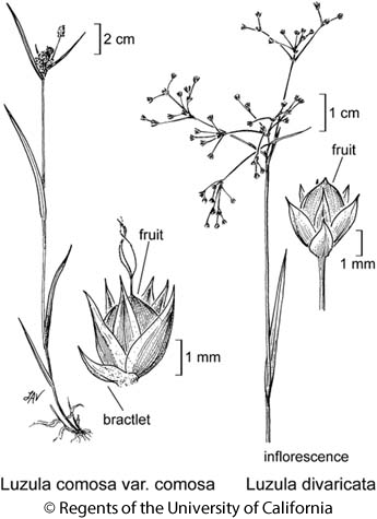 botanical illustration including Luzula divaricata