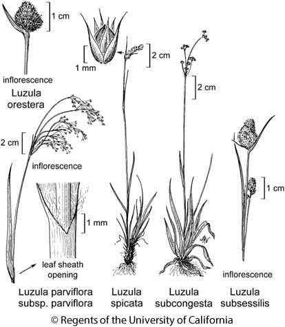 botanical illustration including Luzula orestera