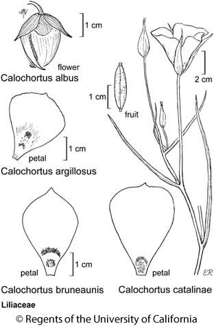botanical illustration including Calochortus catalinae