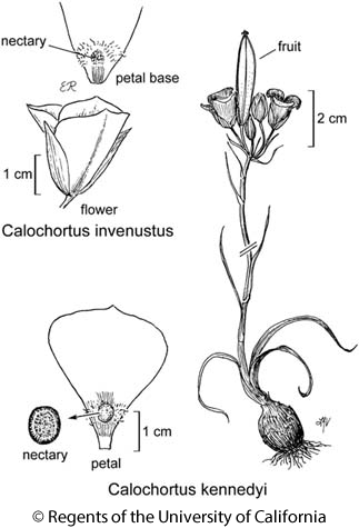 botanical illustration including Calochortus invenustus