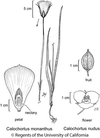 botanical illustration including Calochortus nudus