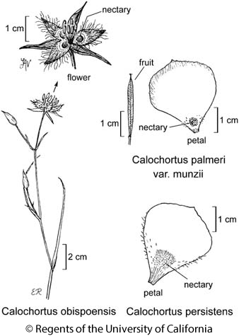 botanical illustration including Calochortus obispoensis